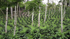 Young coffee bushes in a shade-grown organic coffee plantation Stock Footage