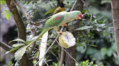 Parrot eating a guava Stock Footage