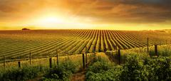 Stunning vineyard sunset - stock photo