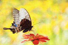 Butterflies flying in cosmos flowers Stock Photos