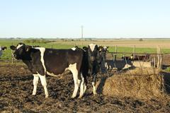 cows in group latin american pampas. - stock photo