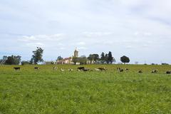 Herd of cows resting in pampas. Stock Photos