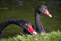 Close up of two black swans Stock Photos