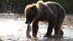 Grizzly bears fishing for salmon, Kamchatka, Russia Stock Footage
