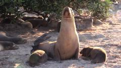 P03040 Galapagos Sea Lion Mom and Pup Stock Footage