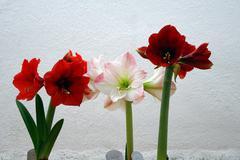 Red and white amaryllis on white background Stock Photos