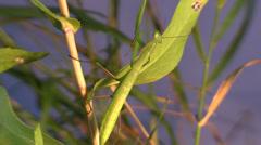 P02974 Praying Mantis Climbing or Walking Stock Footage