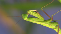 P02977 Extreme Closup of Praying Mantis Insect Stock Footage