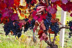Wineyard with purple grapes Stock Photos