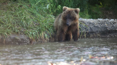 Grizzly bears fishing for salmon - stock footage