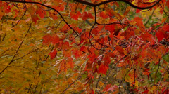 Red Fall Leaves Stock Footage