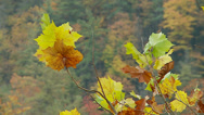 Stock Video Footage of Fall Leaves