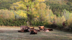 Cows napping - stock footage