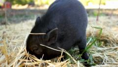 Little Pot-bellied Pig Digging for Food on a Farm Stock Footage