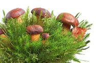 Stock Photo of king boletus edulis