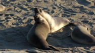 Stock Video Footage of Elephant Seal Pups Medium