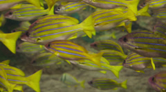 Yellow fish Stock Footage
