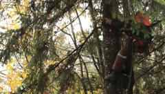 Arborist Trimming Branches High Up On Douglas Fir Stock Footage