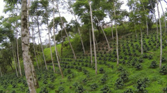 Flying through a shade-grown organic coffee plantation Stock Footage