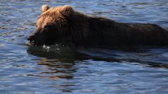 Grizzly bears fishing for salmon Stock Footage