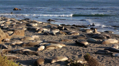 Elephant Seal Beach - Wide 02 Stock Footage