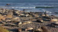 Stock Video Footage of Elephant Seal Beach - Wide 02