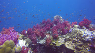Stock Video Footage of Beautiful purple coral reef