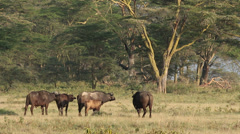 African buffaloes Stock Footage