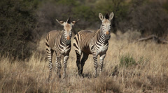 Hartmanns Mountain Zebras Stock Footage