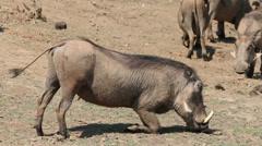 Warthog feeding Stock Footage