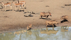 Warthogs and impala antelopes Stock Footage