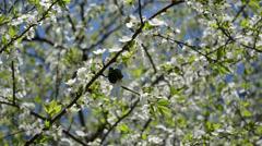 Green chafer bug beetle mate season white blooming tree spring Stock Footage