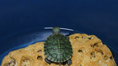 Stock Video Footage of The red-eared turtle