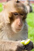 portrait image of Long-tailed macaque - stock photo