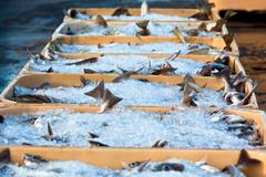 catch of the day - fresh fish in shipping containers - stock photo