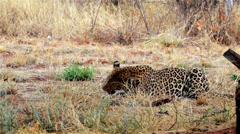 Leopard Stock Footage