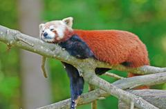 Red panda on a tree Stock Photos