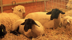 Sheep in a Pen Stock Footage