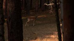 Deer walk in the wood Stock Footage