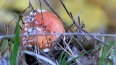 Amanita small in grass Stock Footage