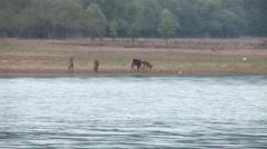 Herd of deer graze grass lake Stock Footage