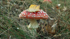 Amanita in autumn meadow Stock Footage