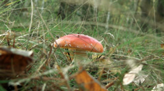 Amanita with orange hat without spots Stock Footage