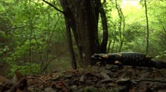 Salamander in the rainforest Stock Footage
