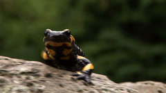 Salamander on a rock Stock Footage