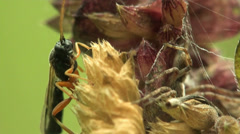 Macro midge on dry grass spikelet Stock Footage