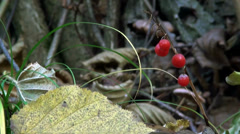 Red berries of stone bramble in forest Stock Footage
