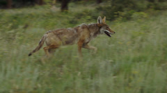 Beautiful Coyote Runs Through Grass Stock Footage