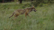 Stock Video Footage of Beautiful Coyote Runs Through Grass