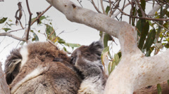 Koala joey scratching Stock Footage